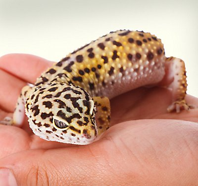 Wags to Wiskers Leopard Gecko Trust