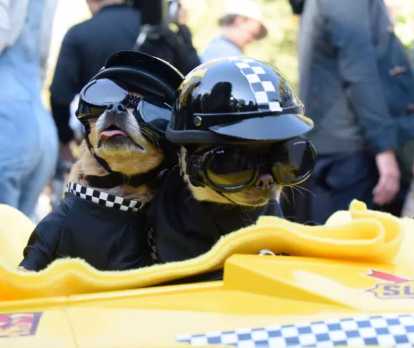 These two puppers are race car drivers. Too busy derping to know what place they're in.