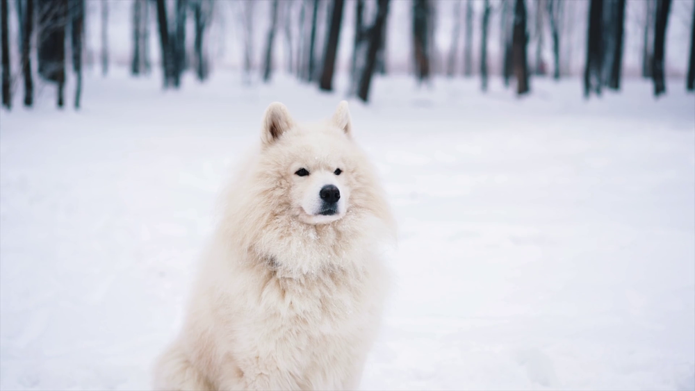 White Samoyed in the Snow Wags to Wiskers Pet Suppleis