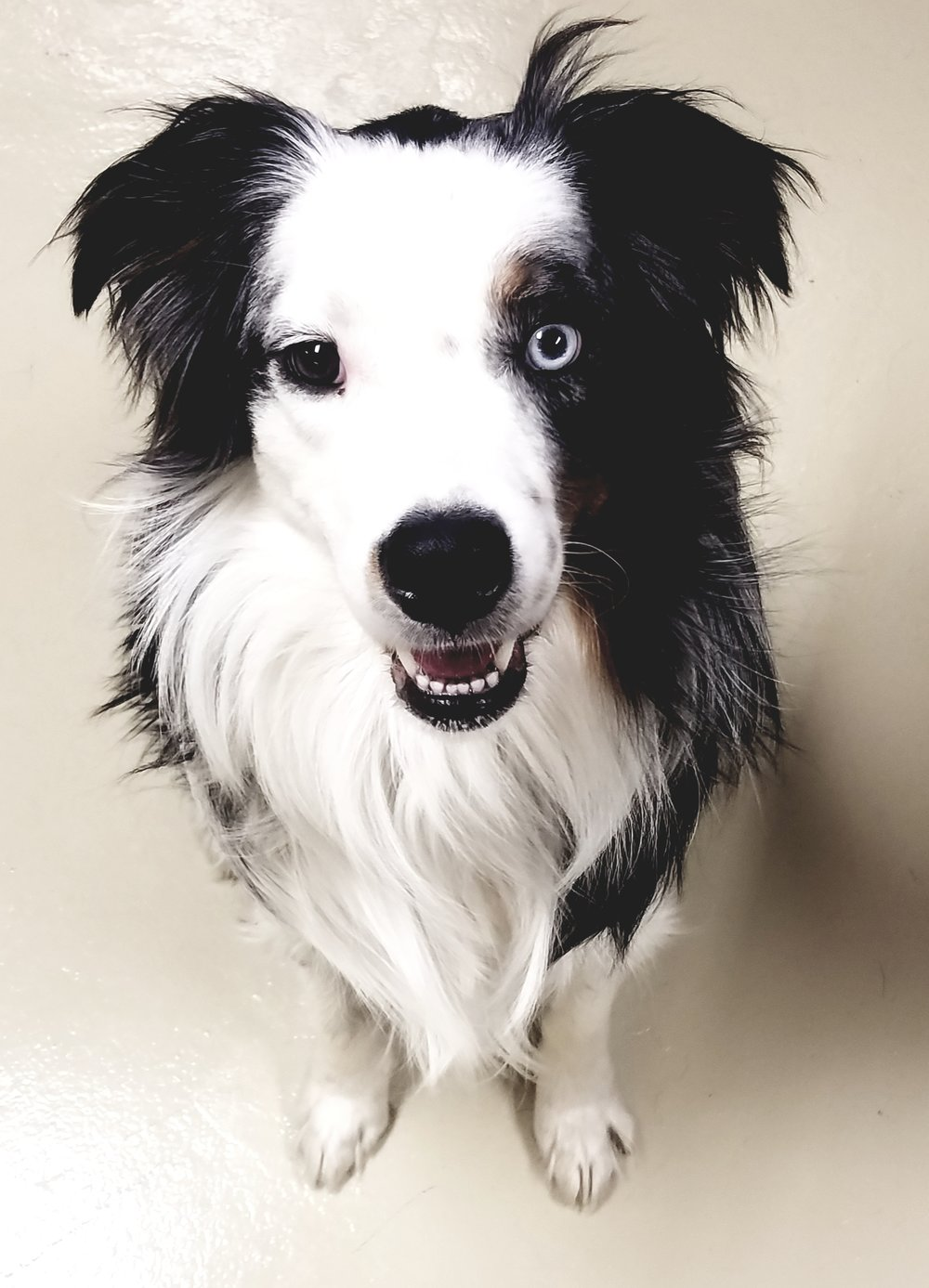 Definitely A+ and 5 out of 5 stars. We have 2 Aussies we're working with with Brittany and even after one session, we saw improvement in our dog's reactive behavior using methods we were taught by Brittany. Would recommend her to any pet owner for any behaviors!!! - K. Roberts