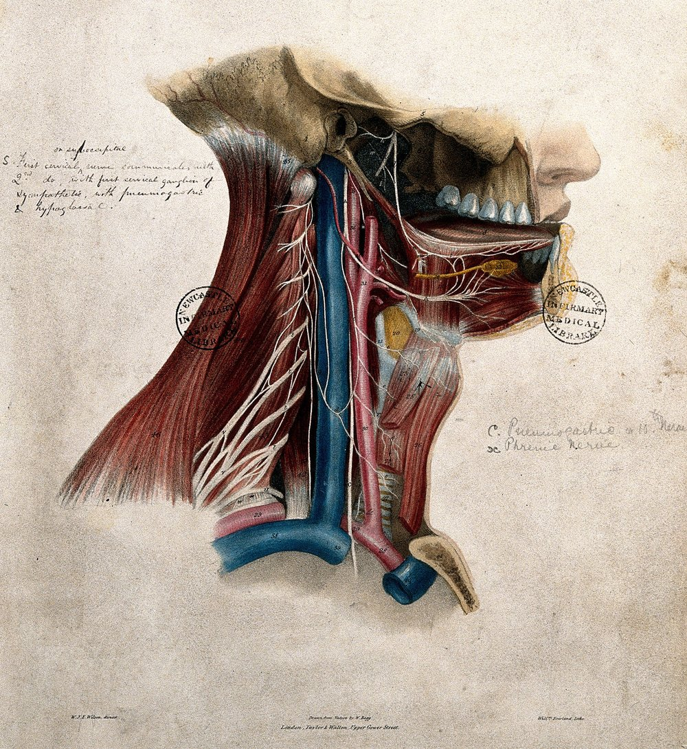 Erasmus Wilson.  Nerves of the neck and mouth . Lithograph, with watercolor, by William Fairland. Plate to: Jones Quain and William J.E. Wilson,  The nerves of the human body , London: Taylor and Walton, 1839. Credit:  Wellcome Collection .  CC BY