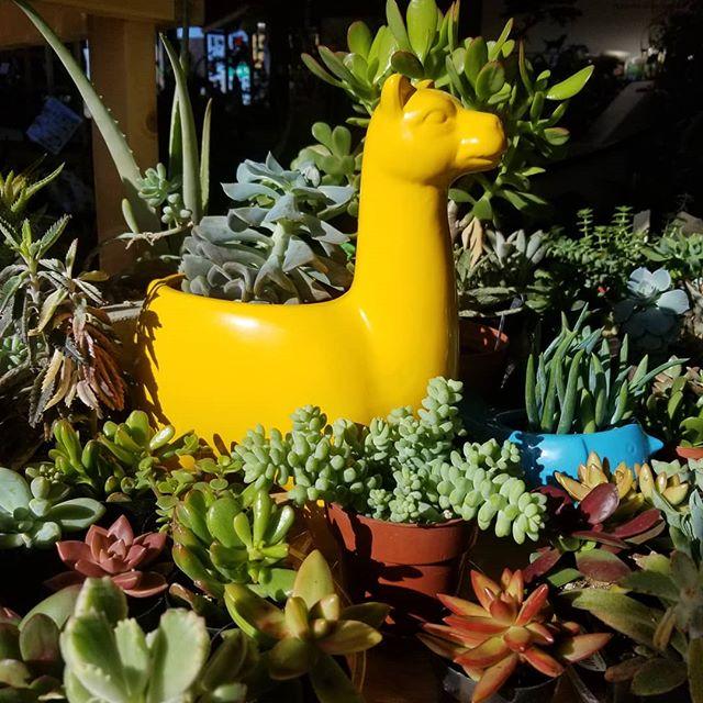 Happy is a lama succulent planter!