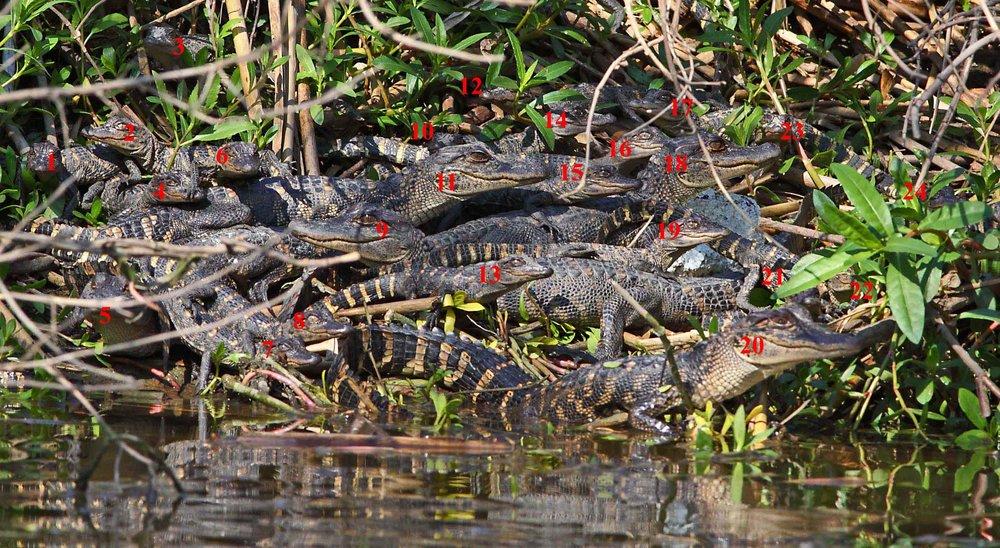 1000380 Pile O' Gators.jpg