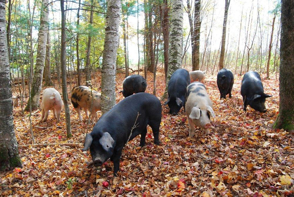 Climbing Tree Farm - Pigs in the Woods.JPG