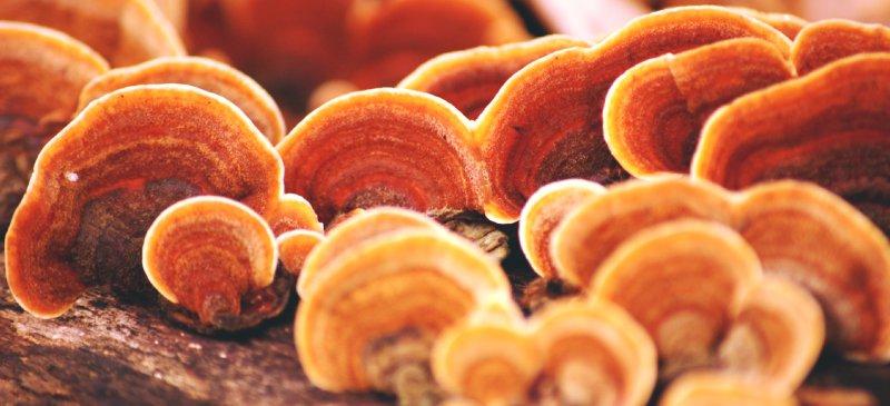 Reishi-Mushroom_nấm linh chi nhật bản.jpg