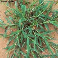 Crabgrass -