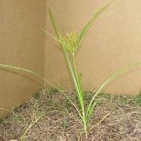 Nutgrass -