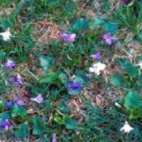 Wild Violet -