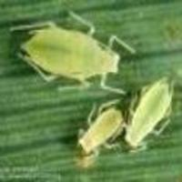 Aphid -