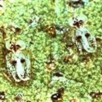 Azalea Lace Bug -