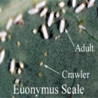 Euonymous Scale Crawlers -