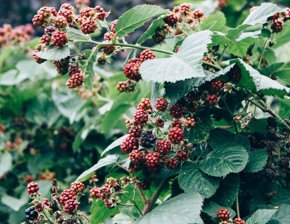 Blackberries-1-e1506022672781.jpg