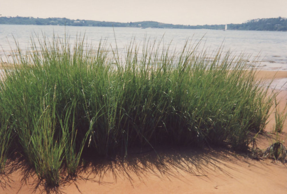 BeachGrass.jpg