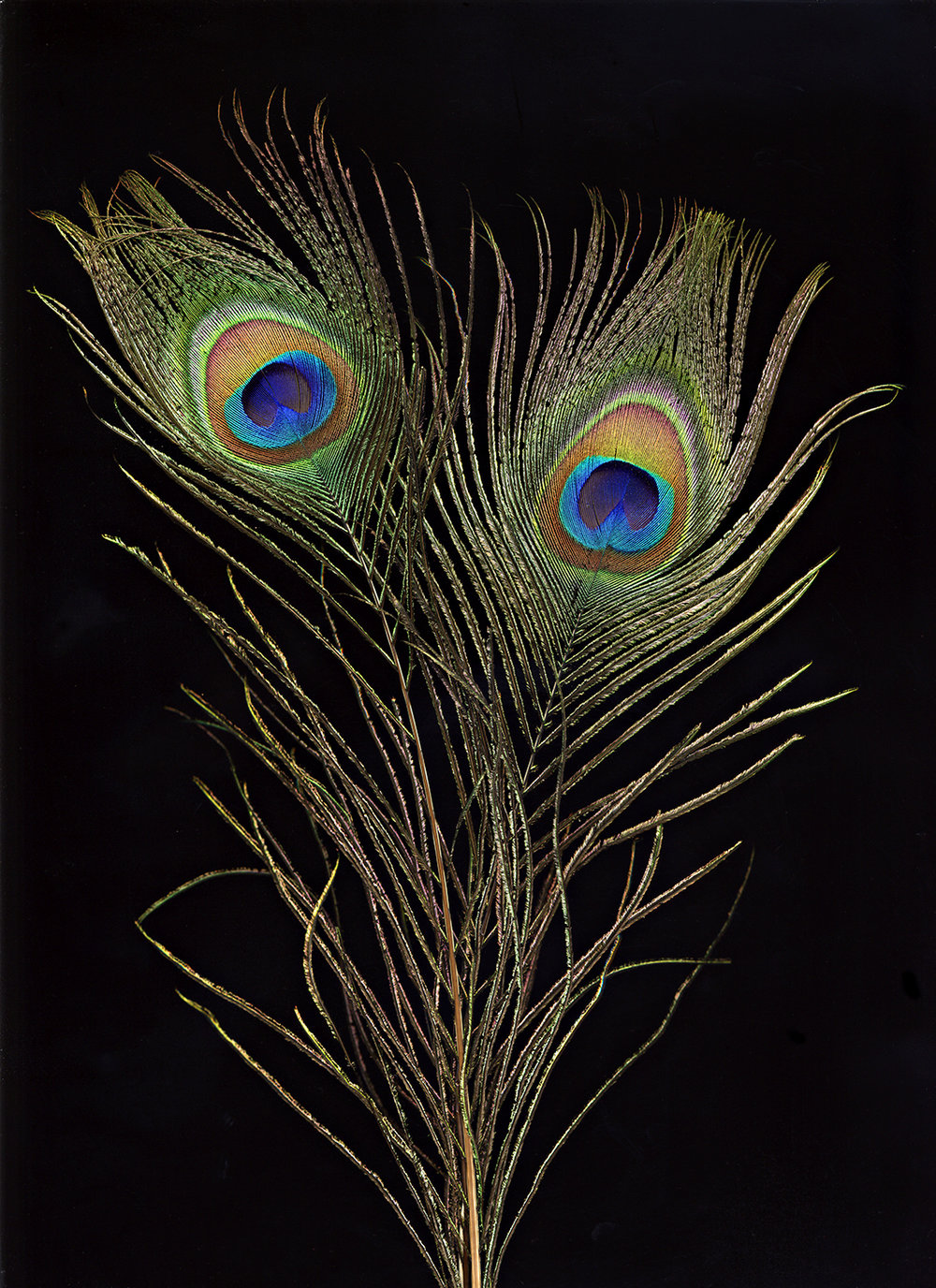 peacock_feather_copy_original.jpg
