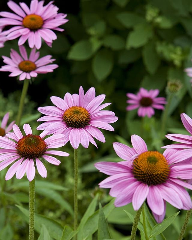 On a chilly day like today, we feel everyone could use a little dose of summer warmth. #tbt #echinacea #only142daystosummer #christywebber #designbuildmaintain