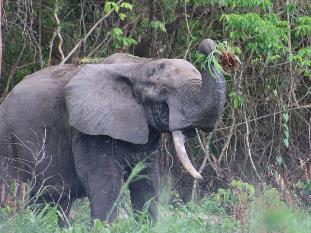 I caught a rare view of this elephant in a high-poaching area of northern Congo while traveling to a research site.