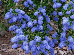 Ceanothus - They are also also known as California lilac. They don't smell like lilacs and they don't look like lilacs to me, but nonetheless they do have these wonderful groups of blue to purple flowers and sometimes white flowers. It's a beautiful plant.