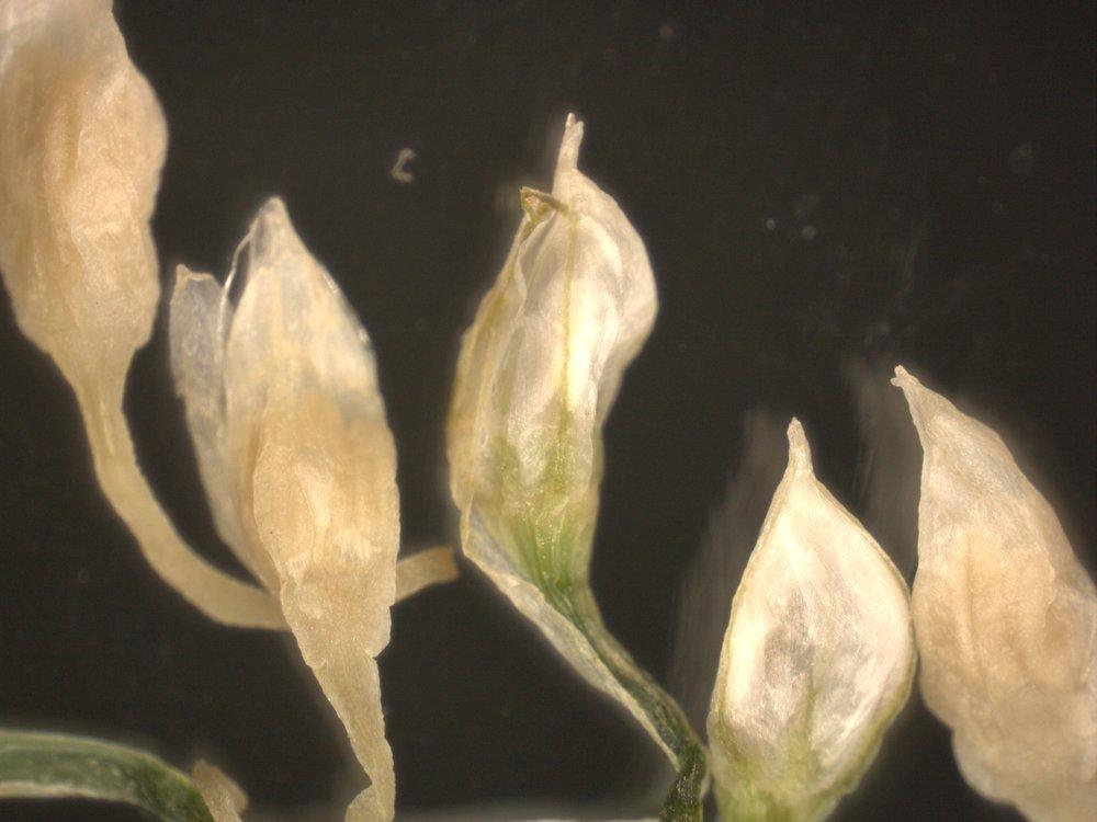 Wild Chive Flower Bud 4.jpeg