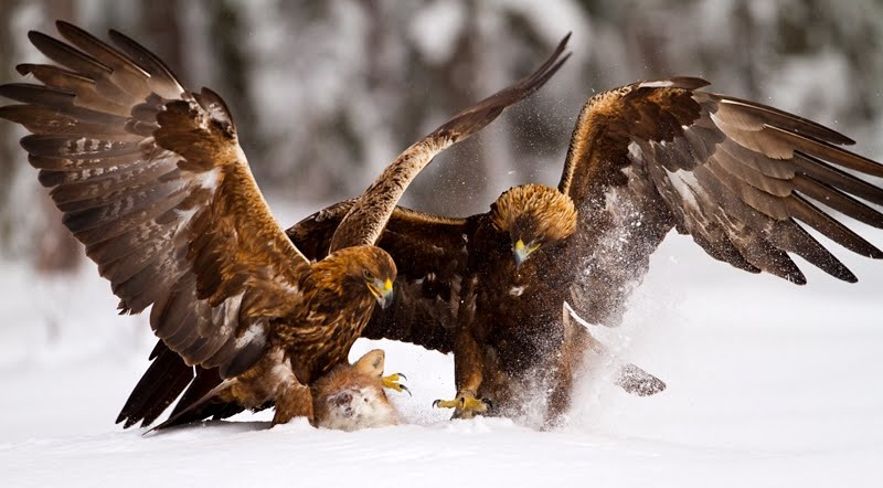 Golden eagles fighting FA