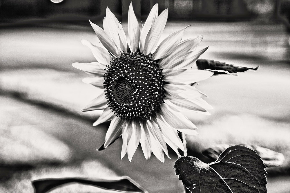 Wiese_Sunflower_MG_5493_lzn.jpg