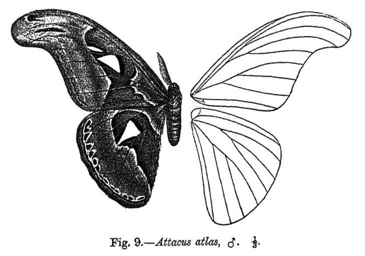 Attacus_atlas_fbi.jpg