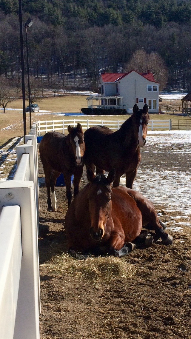 My Dear Friend (Havoc) - 16.1 hand 2009 TB (Oldenburg GOV approved) mare. She is sired by Gogarty (IRE) and out of Frisk Me Minnie. Shown here with her 2017 twin foals.