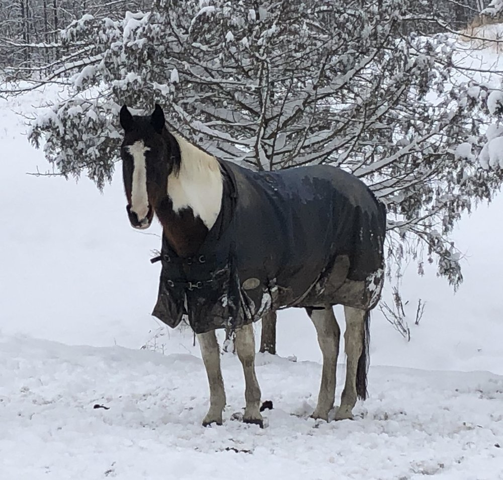 Stella - 16.2 hand 2005 ISR Oldenburg bay tobiano mare. She is sired by Sempatico M and out of Jezabel. Photo coming soon
