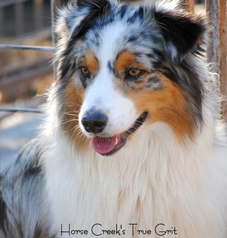 Grit - Horse Creek's True GritOwned by Bryson D.Bred by Horse Creek AussiesAKC Sire: Independence Red White and Blue 'Blu'Dam: Horse Creek's Call Me Classy 'Lexi'Grit passed away on December 5, 2011.Grit was