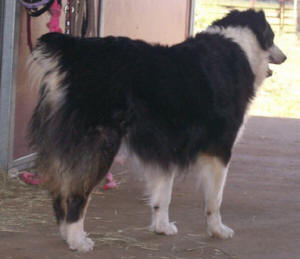 Duzi - Macon Duzi TraxAKC/ASCA Registered • Black Tri • Full White Collar • Super Great DispositionDuzi had been Oz's girl for many years.Together they had many healthy, beautiful pups.Duzi passed away August 22, 2009.