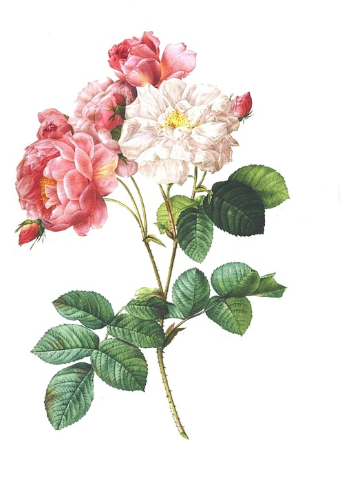 rose-2220087_960_720.jpg