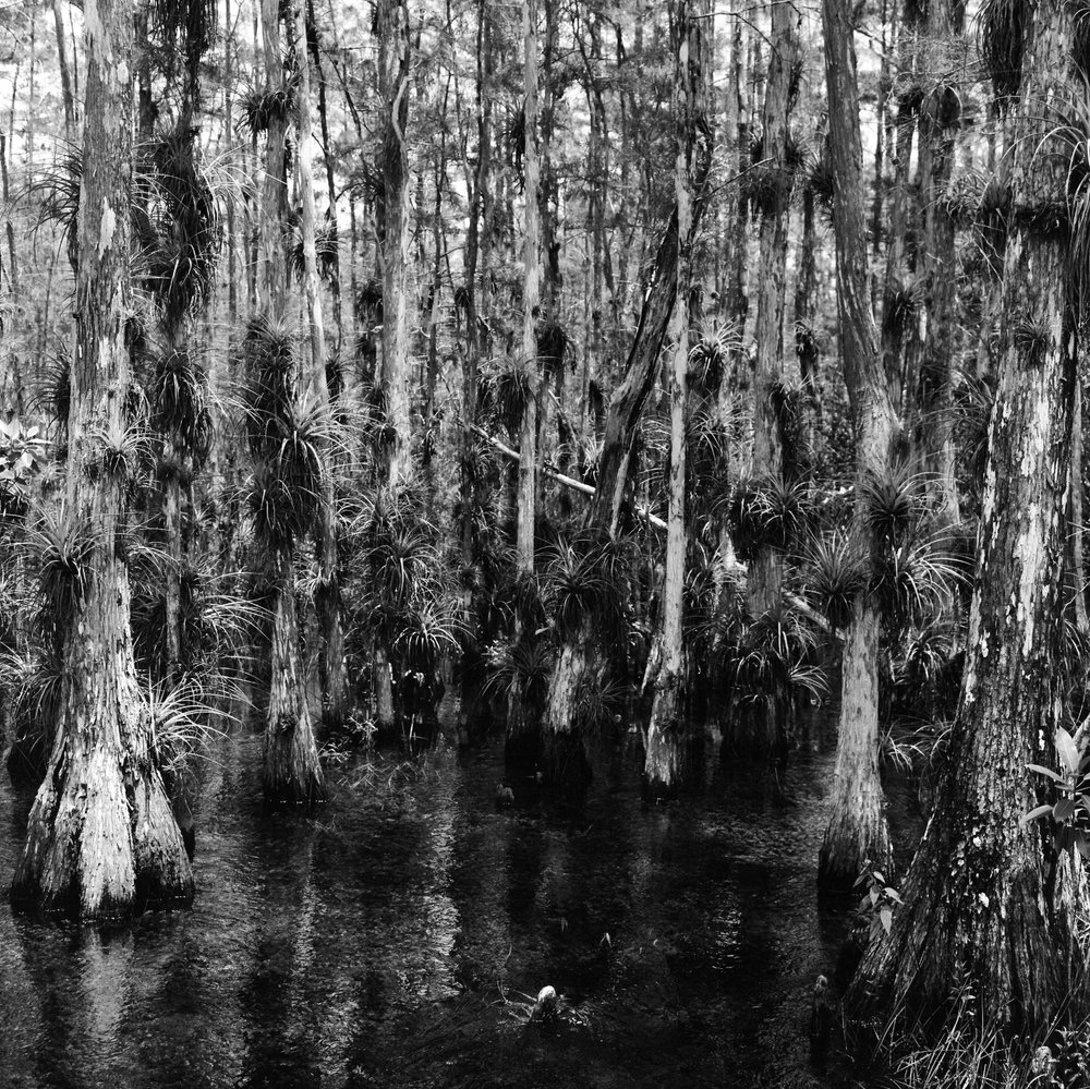 Big Cypress, Florida Everglades - Ilford HP5 Pushed