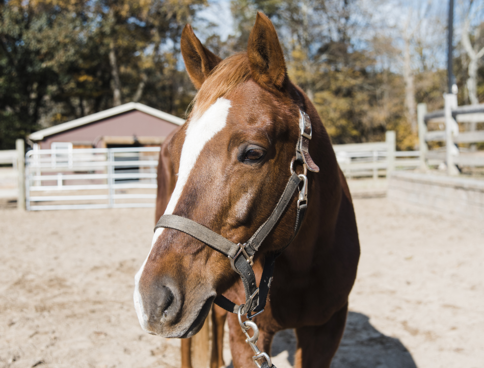 JD is a Welsh pony who was once a show pony. He's an especially good match for riders who are closer to achieving independence.