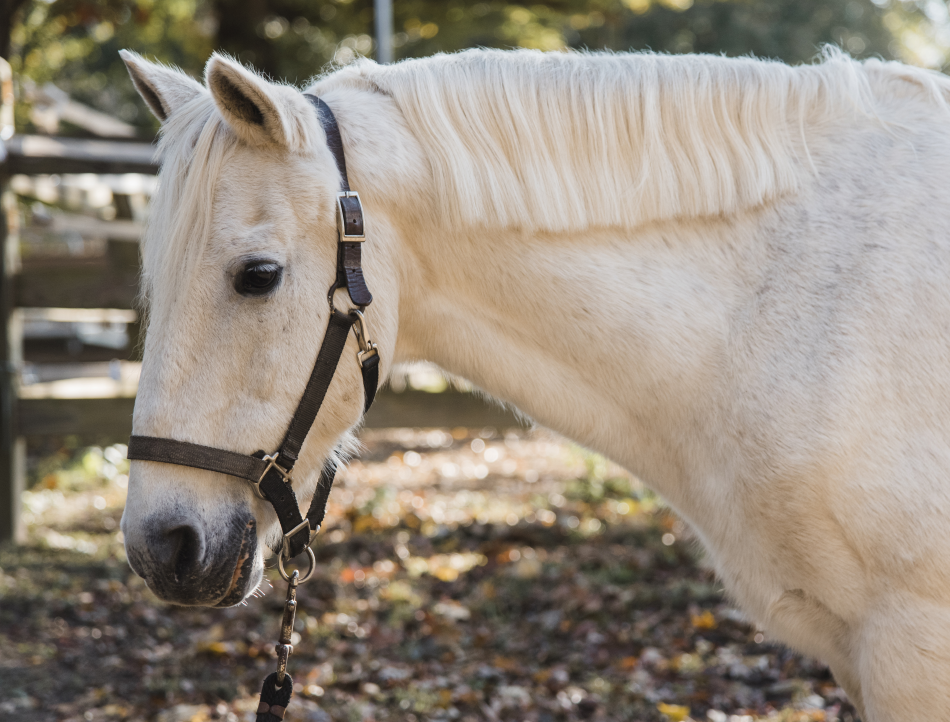 Rascal is a former show pony whose patience and versatility make him ideal for both riding and non-riding lessons.