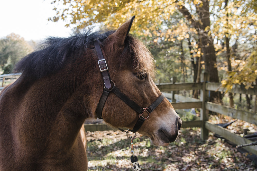 Tanner is a Fell pony, a working breed that originated in the north of England. Tanner has a quick, but rhythmic pace at the walk and trot.
