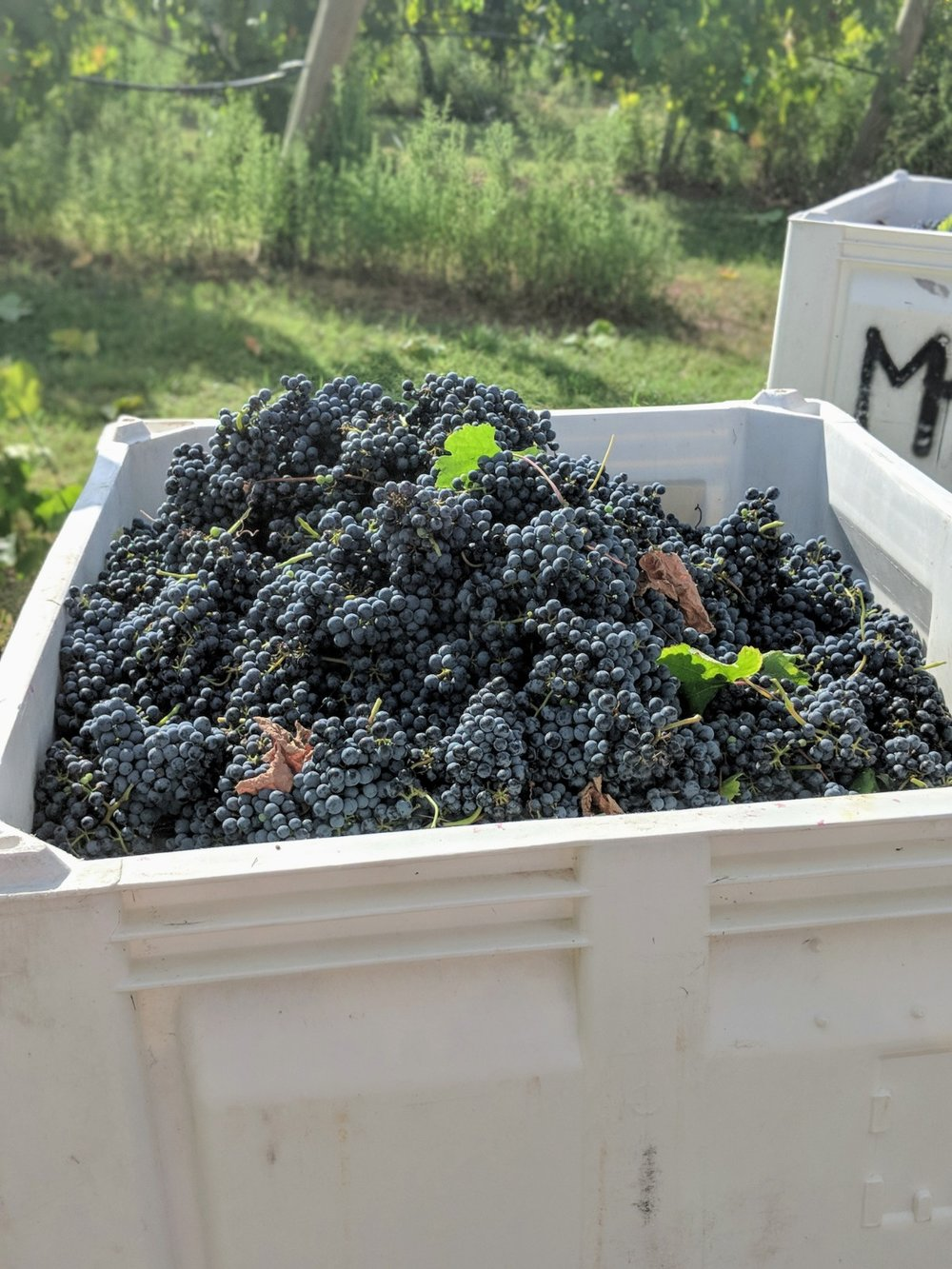 Grapes at Messina Hof Winery