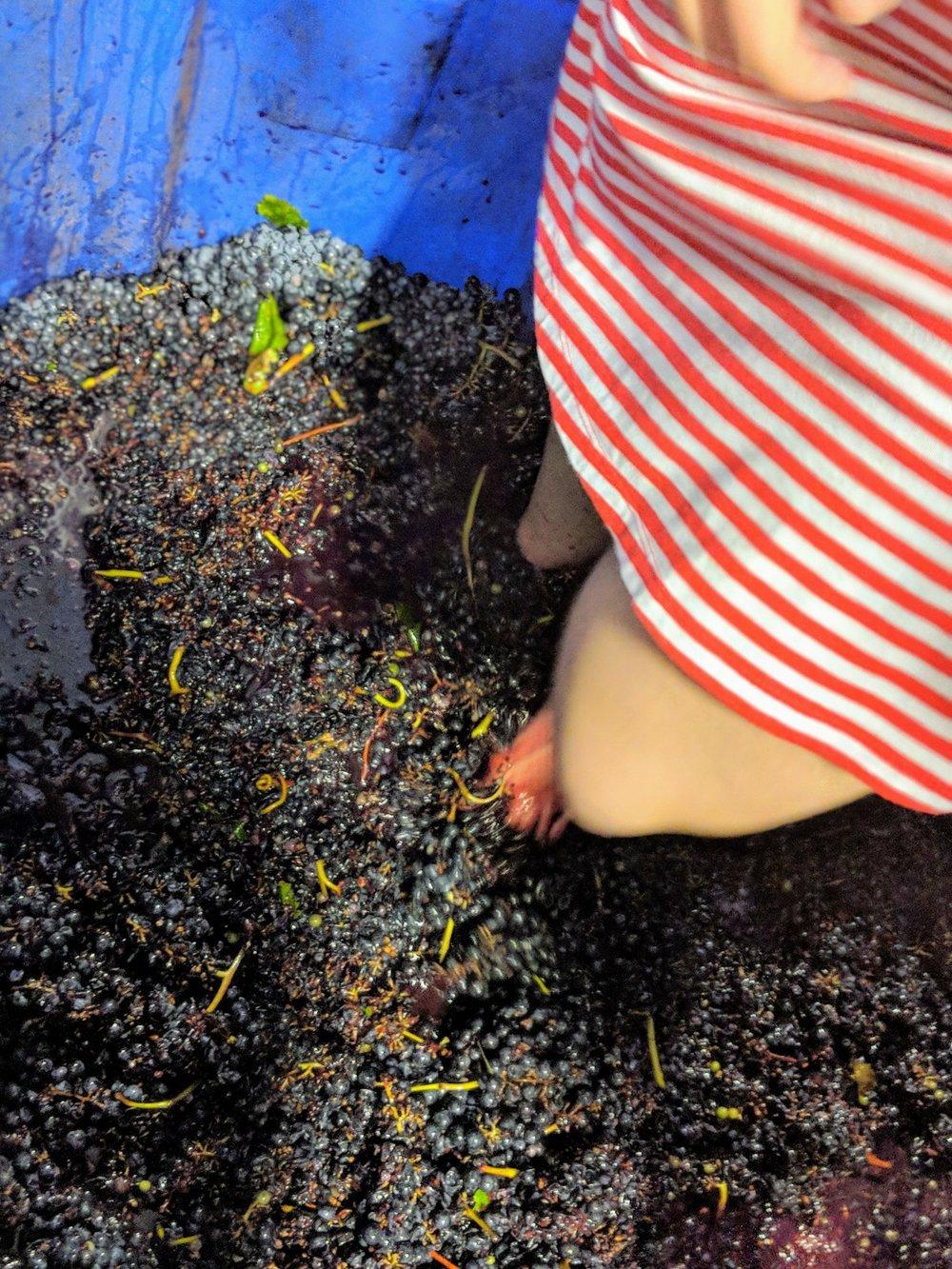 Grape stomping at Messina Hof Winery