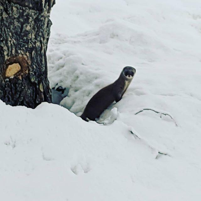 テンさん来た! We had a Japanese snow weasel come to visit us this morning. So much wildlife around madarao. Everyone is coming out for Spring