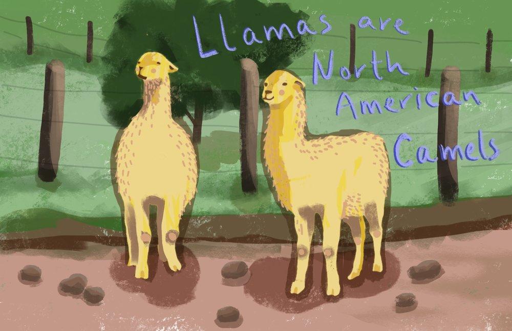 llamas.facts.jpg