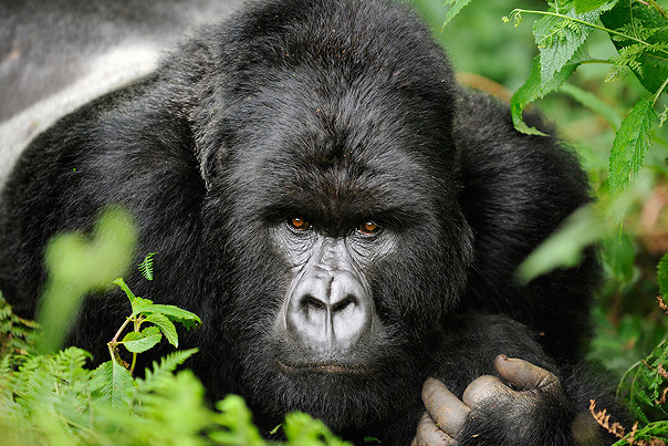 Mountain Gorilla(Gorilla Beringei)silverbackRwanda