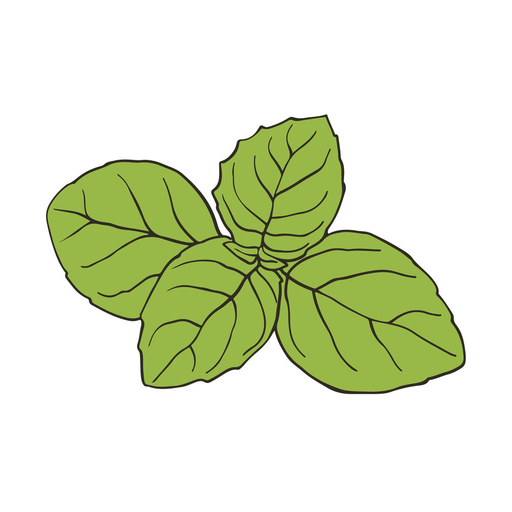 Reedlab illustration_basil.jpg