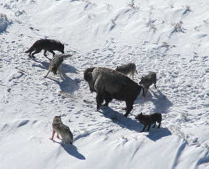 Canis_lupus_pack_surrounding_Bison.jpg