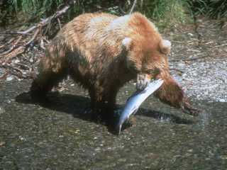 bear+fish.jpg