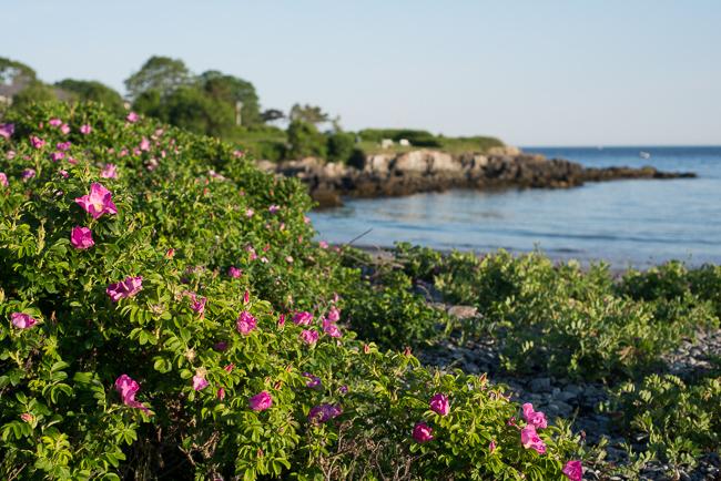 rosa rugosa by ocean.jpg