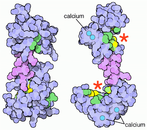 CalmodulinPDB.png