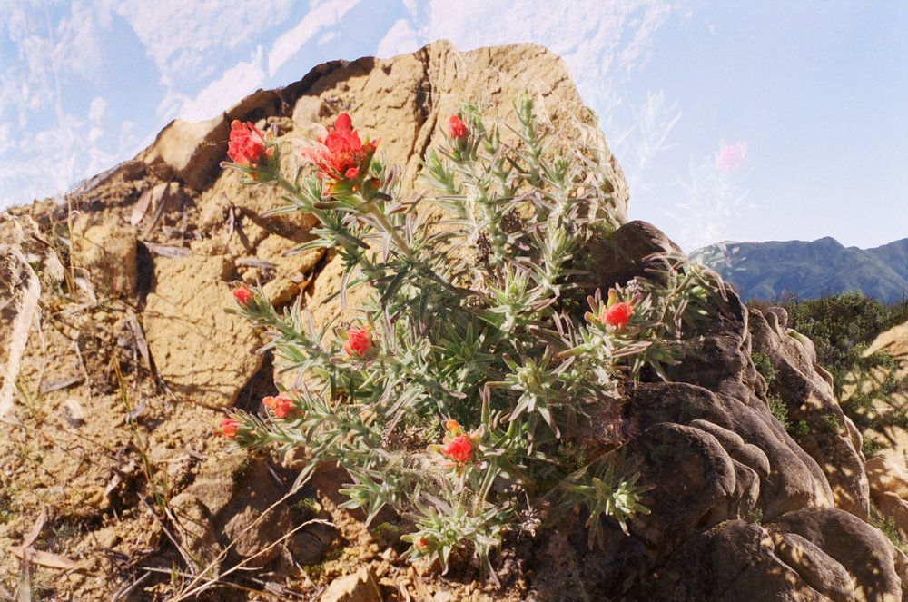 Indian Paintbrush  – 35mm double exposure