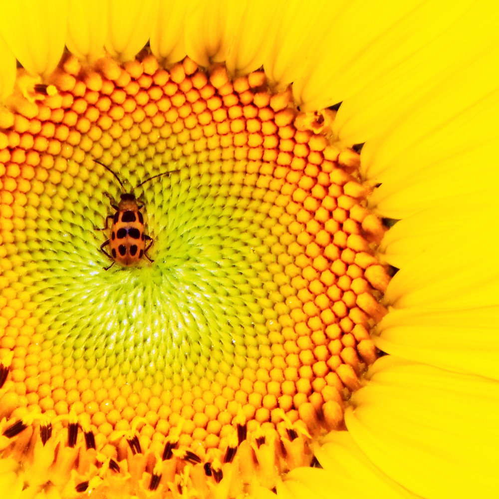 sunflower & beetle