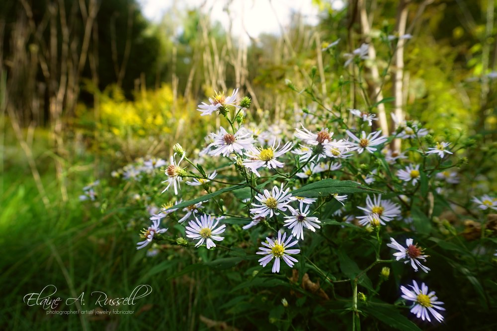 Asters-signed.jpg