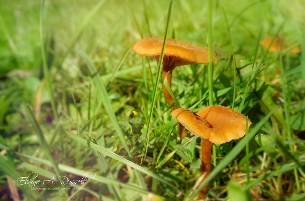 OrangeMushrooms-signed.jpg