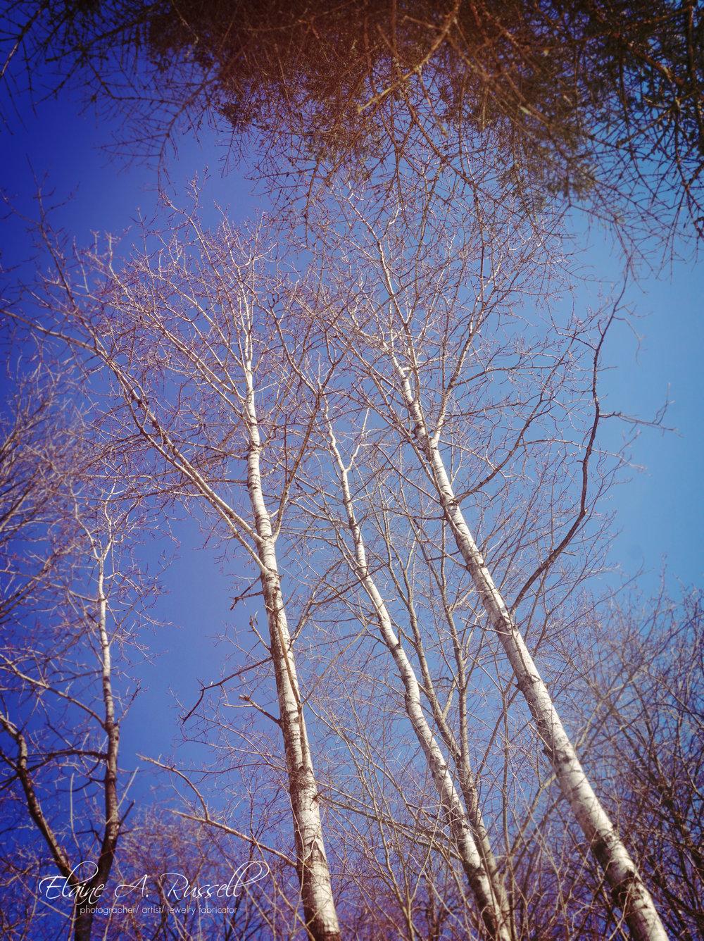 Birch2.jpg