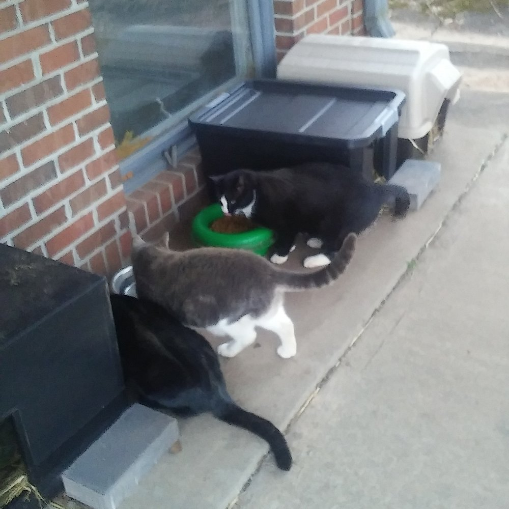 Feral cat feeding station with shelters outfitted with straw bedding